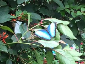 Papiliorama Kerzers 6.9.2015 - Schmetterling